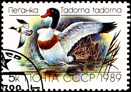 1989 年頃 - ソビエト連邦: ソ連の印刷スタンプ ツクシガモ アヒル、Tadorna tadorna、1989 年頃の沼の上を飛んでのペアを示しています。