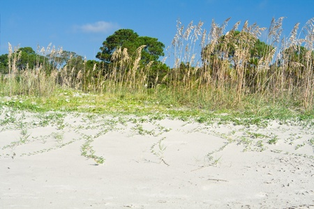 Dune grass called Sea Oats, on a beach in Hilton Head, South Carolina, USA.  Blue sky. photo