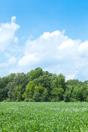 planta de frijol: La soja de campo en Carolina del Norte con los árboles detrás de Foto de archivo