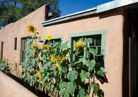 adobe wall: Fila di girasoli in crescita lungo un muro di mattoni a Santa Fe, New Mexico Editoriali