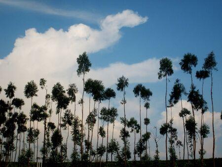 World Travel, Yunnan Dali Eucalyptus Stock Photo - 10441326