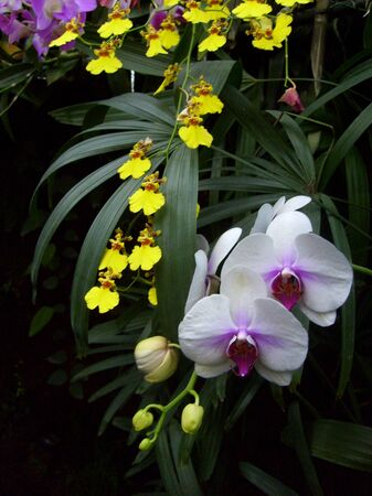 Beautiful butterfly orchid photo