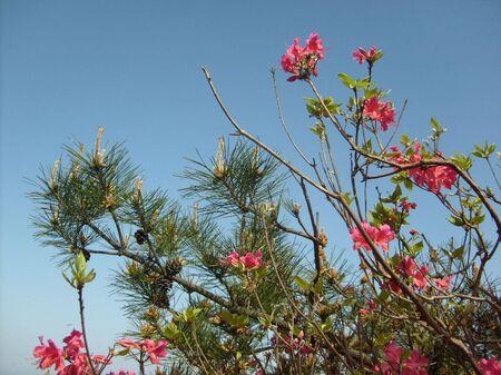 azaleas: Beautiful azaleas