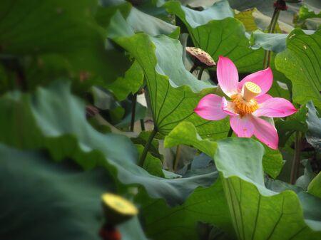 iuml:            Beautiful pink lotus