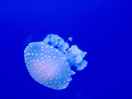 This is a marine life, it is the name of the jellyfish     photo