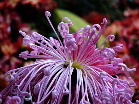 Beautiful autumn chrysanthemum  photo