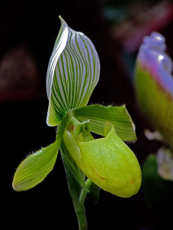 This is a beautiful shoes orchid, also called dancing orchids photo