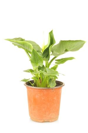 callas: Callas plants on a white background, filmed in the studio  Stock Photo