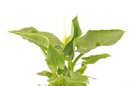 calas blancas: Callas plantas sobre un fondo blanco, filmada en el estudio