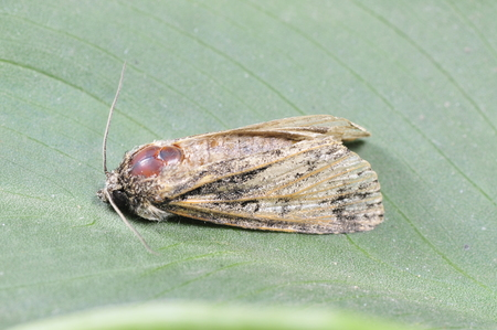sphingidae: Sphingidae insects, a common insects, in the north of China  Stock Photo