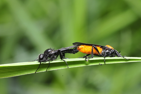 beneficial insect: Two mating insects like bees  Stock Photo