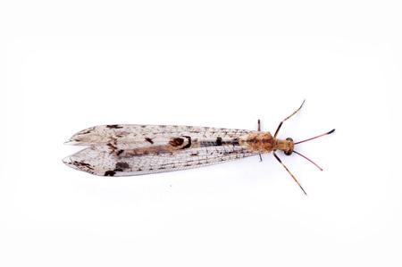 chrysope: Sur un fond blanc chrysope prises mouches, des images en gros plan