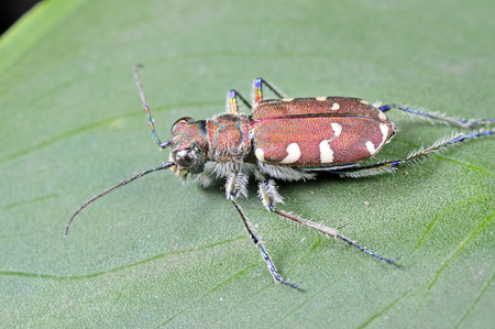 carabidae: Cicindelidae insects, a common insects, close-up pictures, in the north of China  Stock Photo