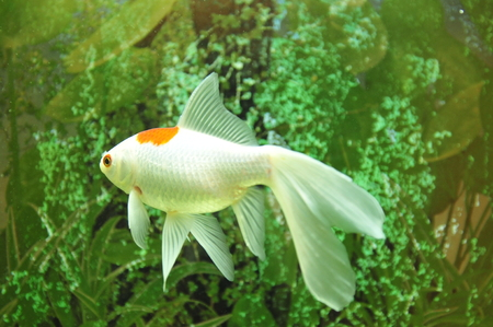 isolation tank: The beautiful goldfish swimming in the fish tank  Stock Photo