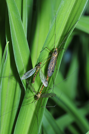 daddy long legs: Long legs mosquitoes, spot big mosquito, a common insects
