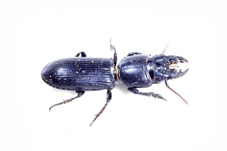 ground beetle: beetles