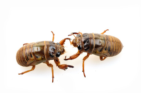 buss: Cicadas in the white background, close-up