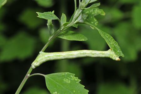 inchworm: Inchworm, a small green caterpillar larvae Stock Photo