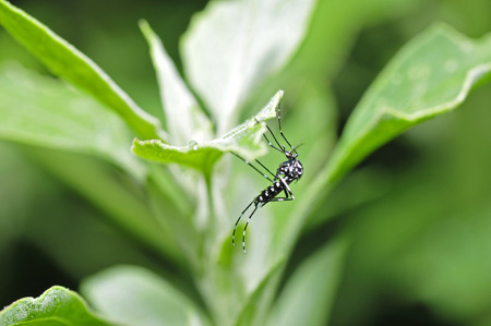 aedes: Aedes albopictus in the green leaf