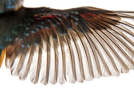 bird wings: A birds feathers on a white background, close-up pictures  Stock Photo