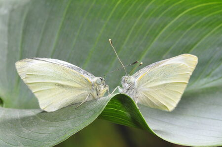 Beautiful white butterfly, a common insects, close-up pictures, in the north of China   photo