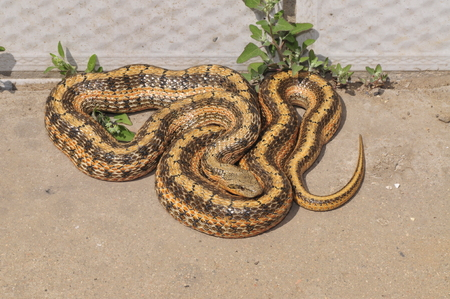macroscopic: Snake, close-up pictures, in the north of China  Stock Photo