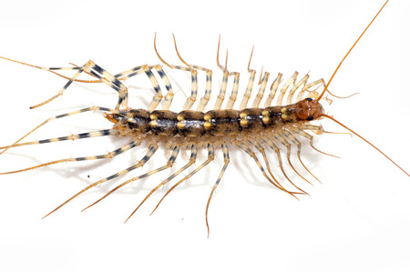 The centipede on white background