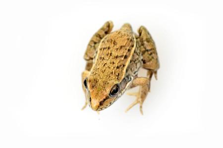 small reptiles: Rana isolato su uno sfondo bianco, immagini e close-up Archivio Fotografico