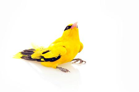 oriole:  Oriole birds, taken on a white background, close-up   Stock Photo