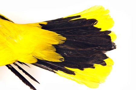 Orioles feathers, white background, close-up pictures