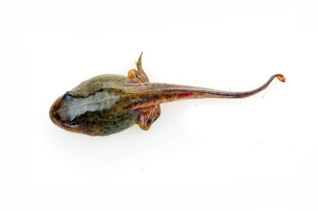 Tadpoles in close-up pictures on a white background  스톡 콘텐츠