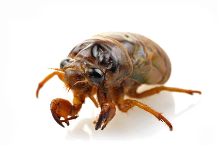 buss:  Cicadas in the white background, close-up     Stock Photo