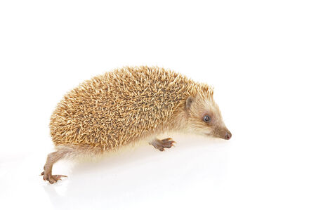 lactation:  A hedgehog in the white background, filmed in the studio  Stock Photo