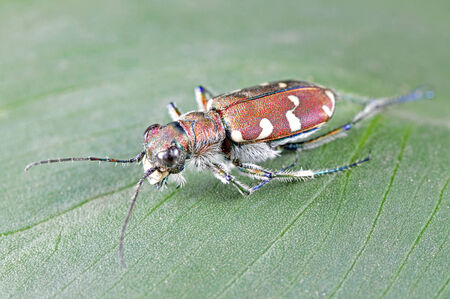 Cicindelidae insects, a common insects, close-up pictures, in the north of China  Stock Photo