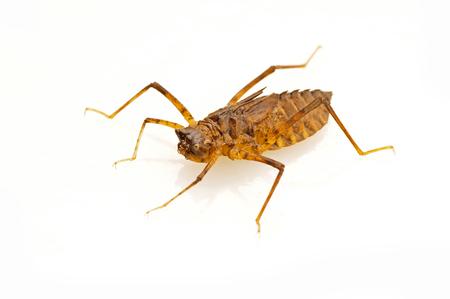 larvae: Dragonfly larvae