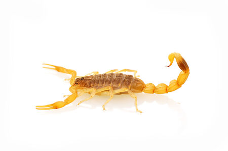 Scorpion 免版税图像