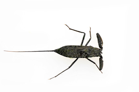 hemiptera:  Water scorpions on white background living in the wild animals in the water  Stock Photo