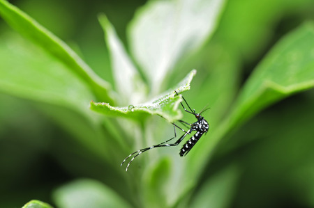 albopictus: Aedes albopictus in the green leaf, and close-up pictures
