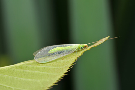 lacewing: Lacewing flies on the green leaves