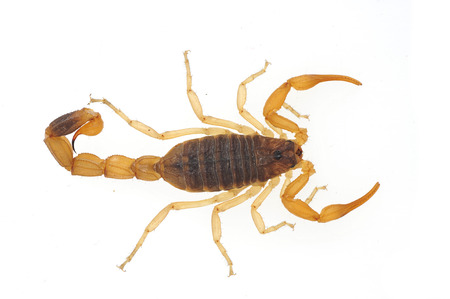 The scorpion on a white background