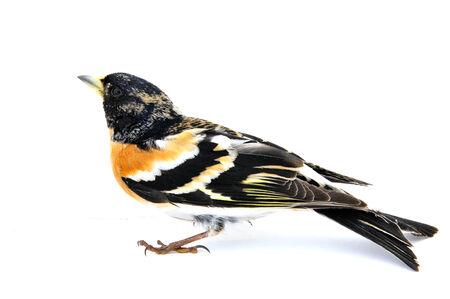 passerine: Passerine uccello su uno sfondo bianco