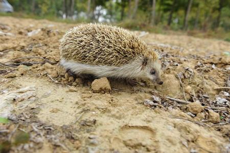 lactation: The hedgehog