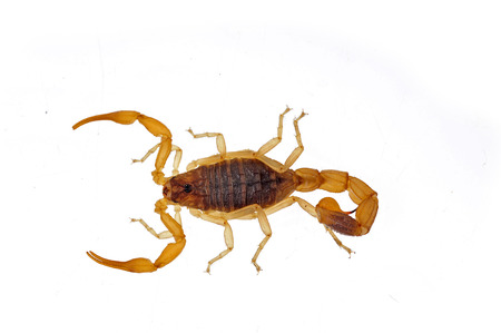 The scorpion on a white background Stock Photo