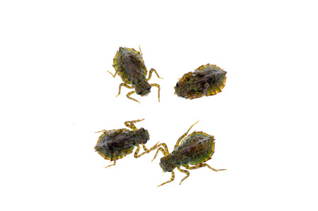 larvae: Dragonfly larvae isolated in the white Stock Photo
