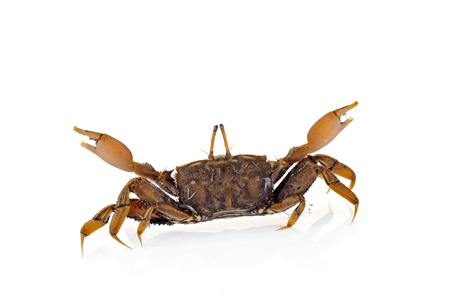 decapods: Crab isolated on a white background