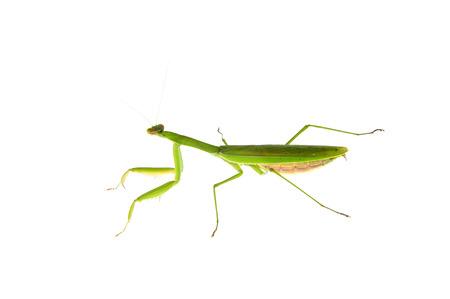 plunder: Mantis on a white background