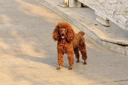 airs: The poodle