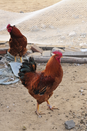 giggling: chickens in the yard