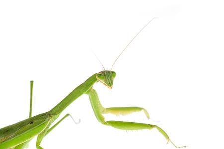 mantis: Mantis on  white background Stock Photo