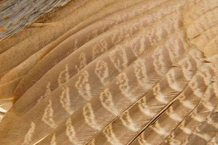 natural cock: Pheasant feather